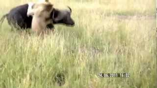 Buffalo Attacks Lion