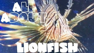 All About The Lionfish or Black Volitan Lionfish | LIVE FEEDING