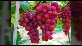 Download Grape Varieties अंगूर की विभिन्न किस्मे 3Gp Mp4