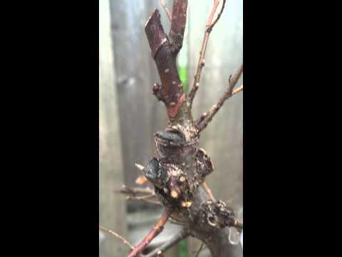 Florida Elm Bonsai - post hard trim and root pruning.
