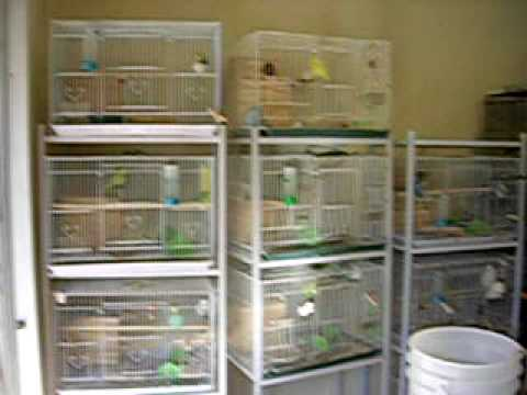 Budgie Breeding Room Aviary Breeding Room