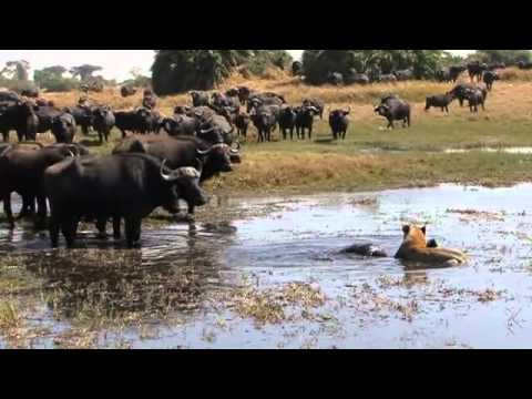 Okavango Swamp Cats Music Videos