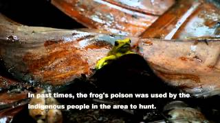 The Golden Poison Frog filmed in the wild