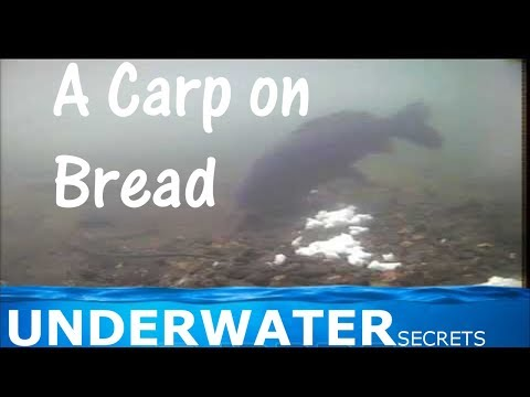 Underwater carp fishing video. A capture using bread.