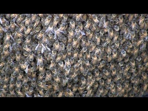 Honeybee SWARM CLOSE-UP Study in HD by SoMDBeekeeper