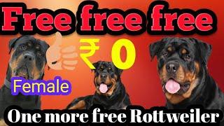 Free free free 1 or Rottweiler female dog free adoption ke liye 10 days 2 Rottweiler
