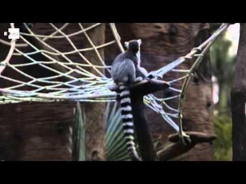 El zoológico de Guatemala recibe a siete lemures procedentes de Chile