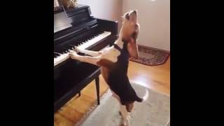 Download দেখুন কুকুরের গান | A Dog can sing and play piono 3Gp Mp4