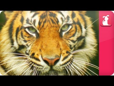 Bindi & Robert Irwin feature - Tiger (Bashii) - Growing Up Wild