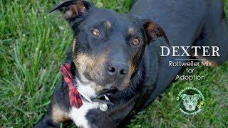 Dexter - Cool Rottweiler Mix for Adoption!