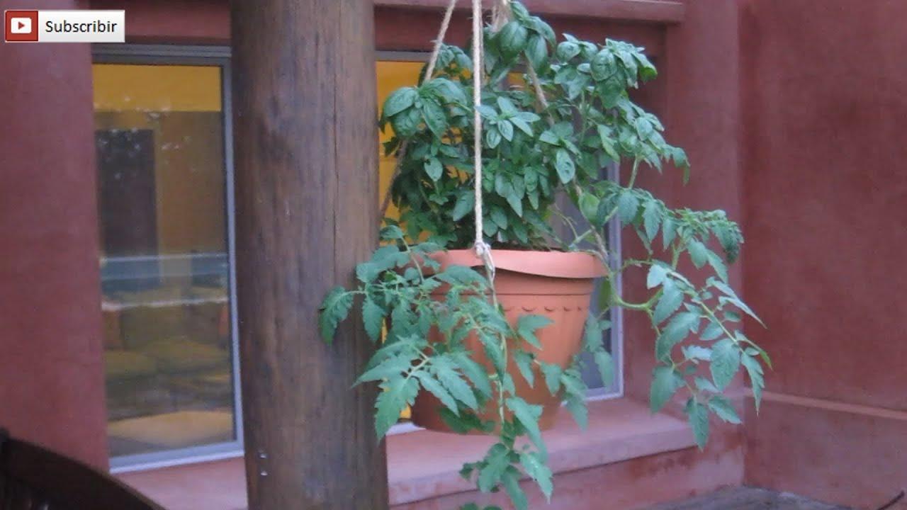 Planta de tomate invertido tomate colgante en maceta con for Como cultivar peces en casa