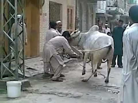 Dangerous Cow Qurbani http://wn.com/omar_asad?upload_time=all_time&orderby=viewCount