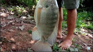 Fishing tilapia - this fish to the number already