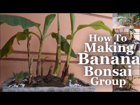 How to Make Banana Group Bonsai | Banana Bonsai Growing at Home | Banana Bonsai Forest Style |