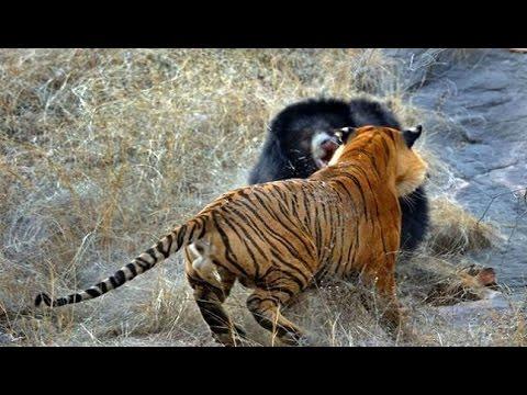 黑狗熊決戰孟加拉老虎最新視頻 絕對難得一見