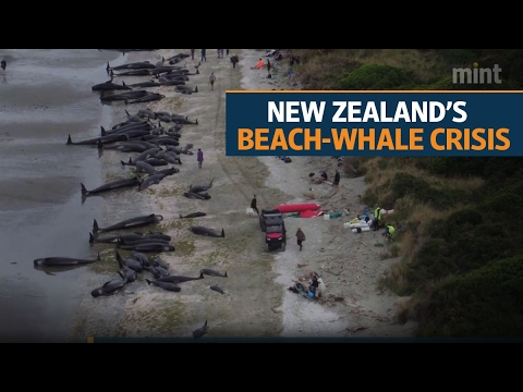 New Zealand beach whale crisis is over, say rescuers