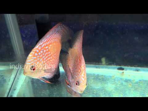 Golden Snakeskin Discus fish