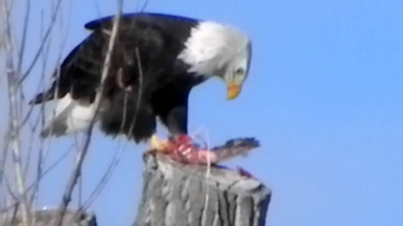 Bald Eagle Eating Duck Bald Eagle Eating a Duck