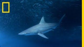 Is Sargassum Attracting Sharks to Galveston? | SharkFest