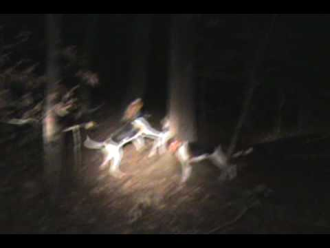 Coon Hunting. Treed with 4 dogs. Let 2 play with it after we shot it out.