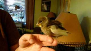 Hand feeding a 4 week old canary