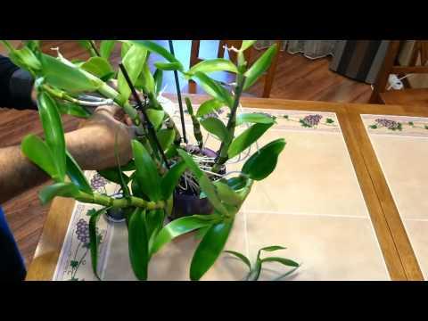Дендробиум в домашних условиях видео