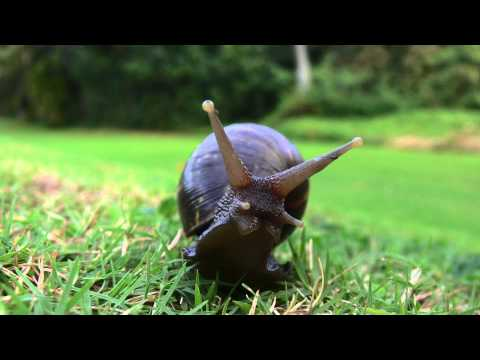 Giant, Rat-Sized Snails Invade South Florida