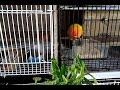 Harus tahu makanan Lovebird saat bertelur maupun yang tidak bagi peternak burung