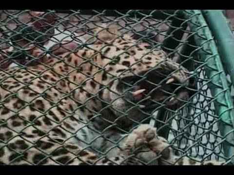 Leopard captured with help of tranquilizer in Meerut