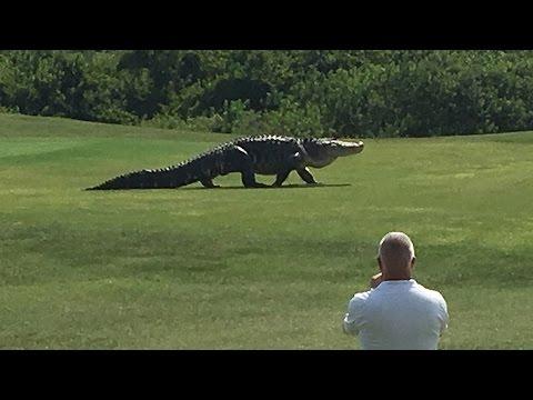 Lagarto gigante juega golf?