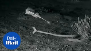 A kangaroo rat nimbly escaped the jaws of a rattlesnake