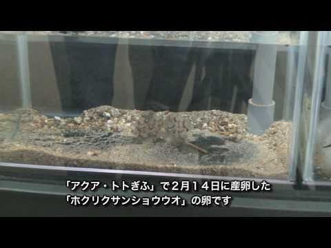 各務原市 「アクア・トト」 ~絶滅危惧種のサンショウウオが産卵~