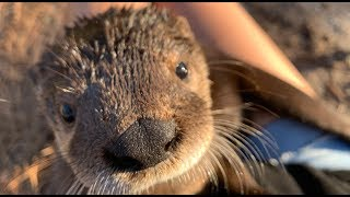 Orphaned Otter {Try Not To Smile} *Rescued and Rehabilitated*