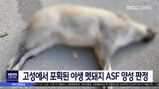 고성에서 야생 멧돼지 수렵, ASF 양성