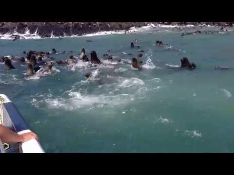 Lobos marinos en las Islas del Callao