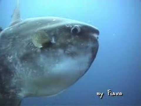The moon fish youtube for Hawaiian moon fish