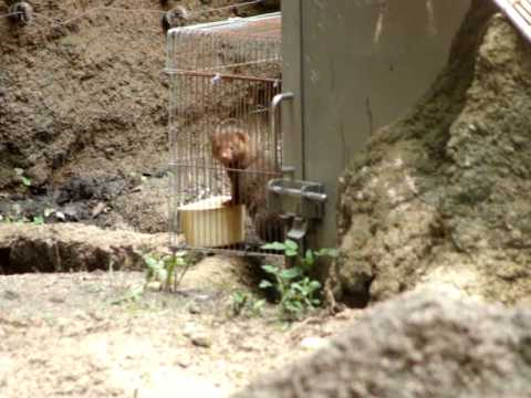 天王寺動物園のコビトマングース 展示の練習中