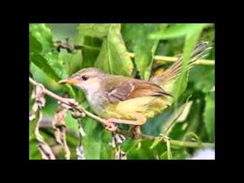Burung Prenjak Tebu Gacor video