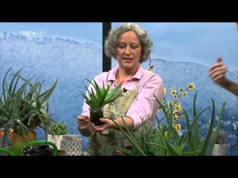 Aloe Vera  Beautyfarm Auf Der Fensterbank