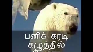 பனிக்கரடியின் கழுத்தில் கேமரா - காணொளி