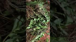 Lan rừng lai châu ngày 11/7. Phi điệp tím hàng kiến và hàng dài. Lh 0942815888 e hương