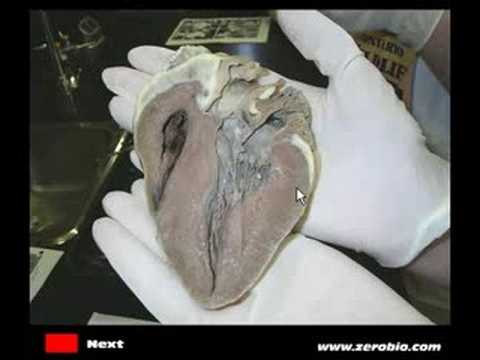 Sheep Heart Dissection - YouTube