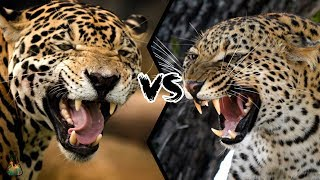 JAGUAR VS LEOPARD - Who will win this battle?