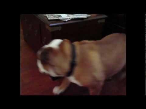 Perros - Perro jugando con la pelota