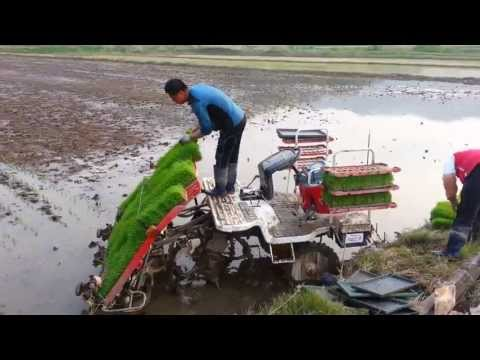 South Korean rice planting