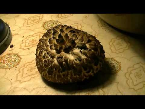 Гриб похожий на ежа /  The mushroom looked like a hedgehog