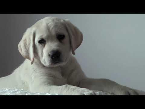 White Labrador Puppy Love's Girl!