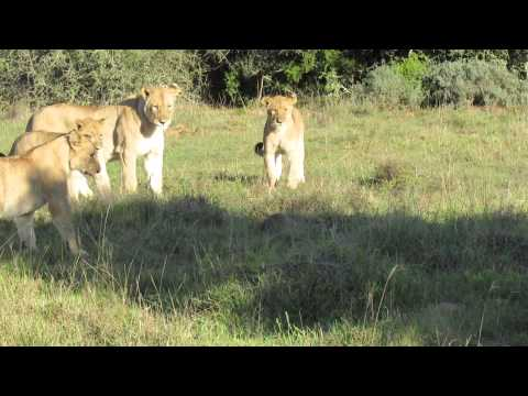 8 Lions VS 1 Nile Monitor Lizard