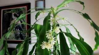 Floración tronco de Brasil