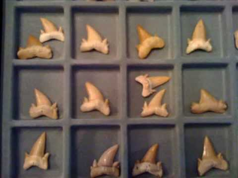 Fossil Sharks Teeth from the Phosphate Mines